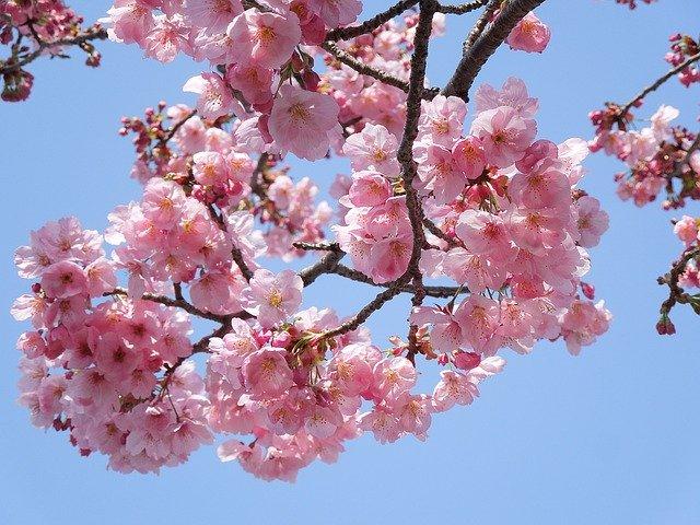 よみうりランドの桜2020の開花状況!見頃情報と中止の可能性は?