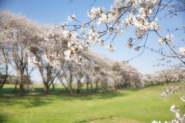 新宿御苑の桜2020!お酒やお弁当の飲食や持ち込みは出来る?中止の可能性は?